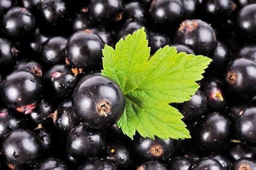 Det finns flera odlingsvärda sorter av svarta vinbär. Leta efter de motståndkraftiga sorterna mot mjöldagg.