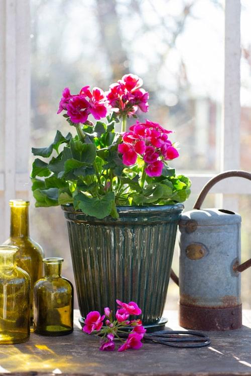 Årets pelargon passar bra utomhus; på balkongen, rabatten eller i entrékrukan.
