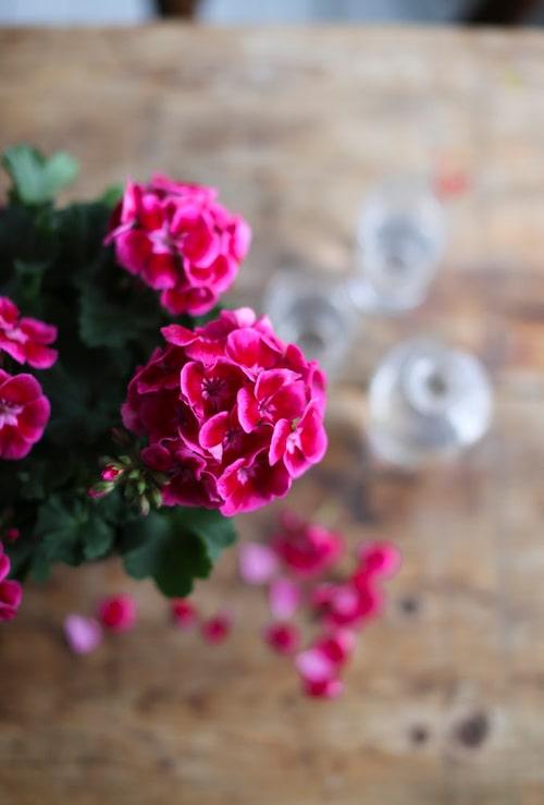 Tango Deep Rose With Eye har en vacker blomma.