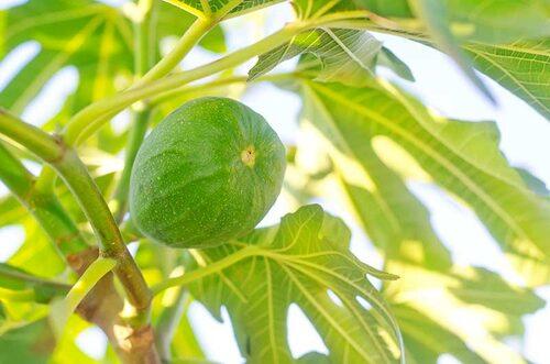 Mindre härdiga fikonträd kan odlas i kruka och stå utomhus under sommaren, men tas in för vinter.