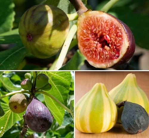 För att få frukter i Norden, behöver vi odla självfertila sorter från adriafikon-gruppen.