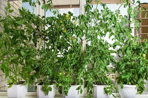 Tomatplantor redo att tjuvas. Det är de högväxande tomaterna som man tjuvar.