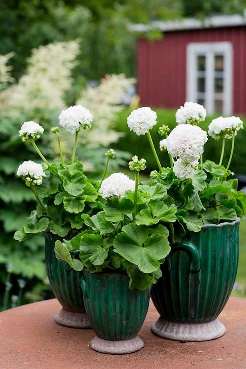 'Kronprinsesse Mary' är en tacksam pelargon som blommar ymnigt.
