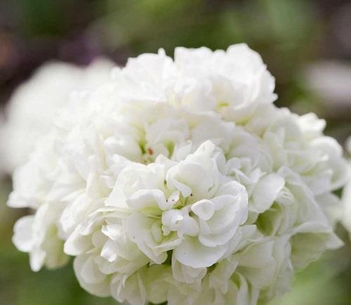 Blomman på rosenknoppspelargon är fylld och varje enskild blomma slår ut.