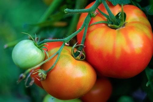 En vanlig orsak till att tomater spricker är att de inte blivit jämt bevattnade. Se till att de inte torkar ut helt.