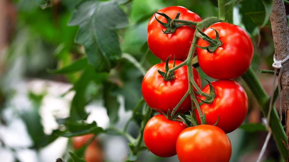 Den som plockat en solmogen tomat och stoppat den i munnen, vill inte gå tillbaka till bleka smaklösa matbutikstomater.