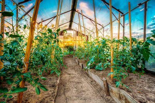 Tomatodling i växthus. Men det går lika bra att odla tomater i kruka och ute.