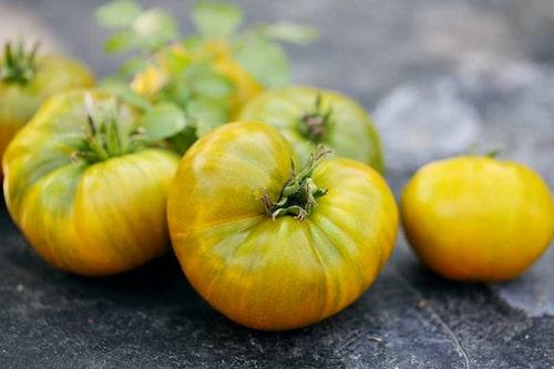 Gröna och gula tomater som inte hunnit mogna, går att eftermogna inne.