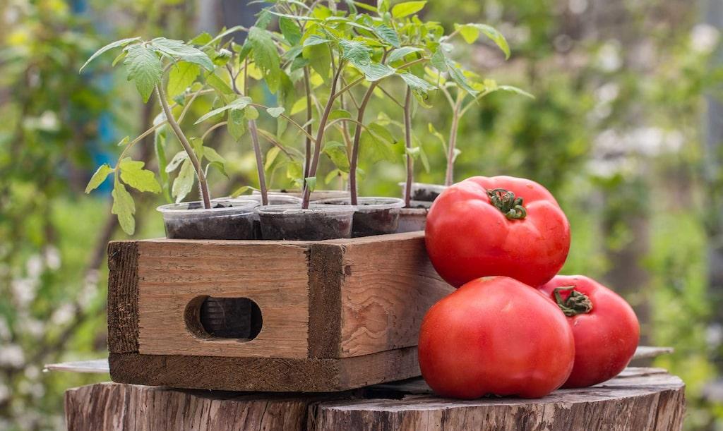 Det är så enkelt och givande att lyckas med tomater. Oavsett om man odlar från frön eller köper en tomatplanta, så är tomater tacksamma växter.