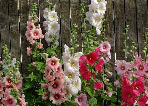 Plantera stockrosor soligt och vindskyddat, gärna mot husvägg eller plank så att de kan få stöd.