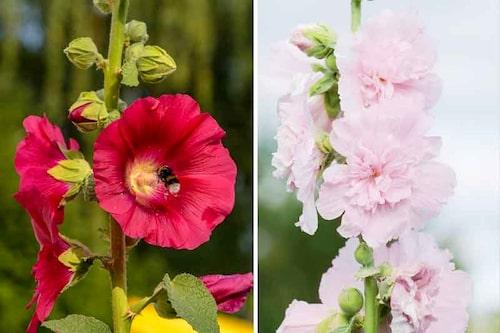 Stockrosor blommor på försommaren, på vissa ställen ända in på höstkanten och älskas av pollinerare.
