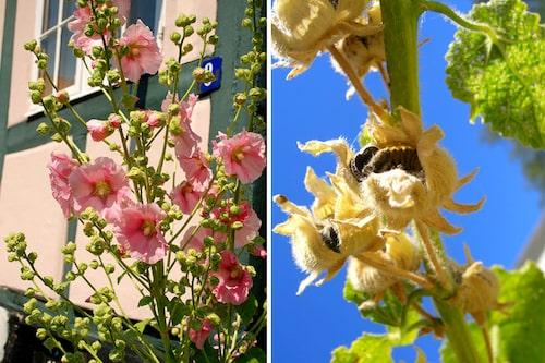 Skär ner stocken direkt efter blomning, för att få en chans till blomning även nästa år, eller spara för mängder av frön som lätt självsår sig.