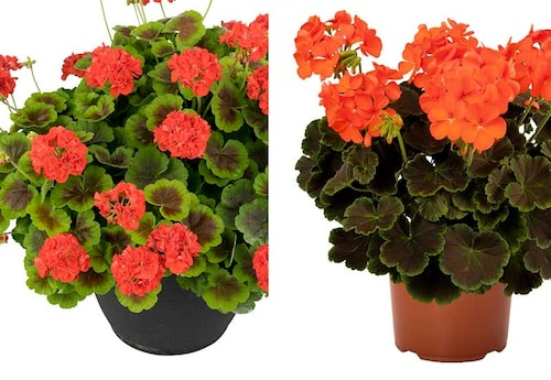 'Brocade Fire' till vänster har en bredare grön kant. 'Rheinberg' är den nyaste sorten med häftigt orange blommor till de svarta bladen.