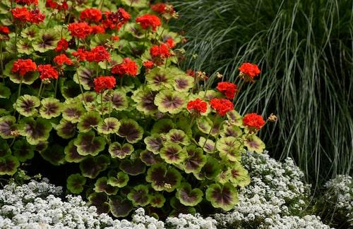 'Brocade Fire' är en mycket dekorativ pelargon i rabatter. De röda blommorna svävar över det läckra bladverket.