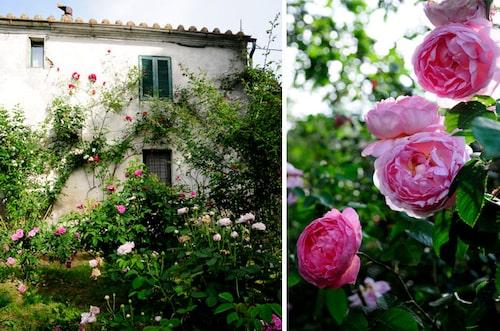 Rosenträdgård i Umbrien