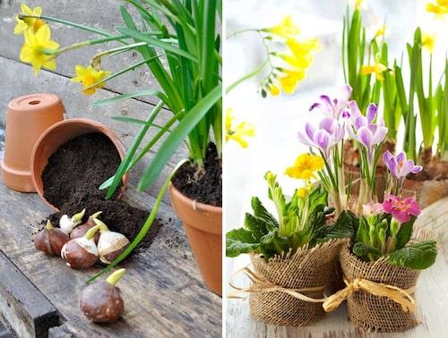 Plantera flera olika vårlökar i krukor och gör grupperingar.