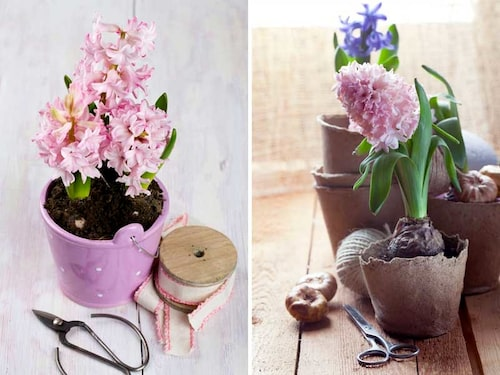 Hyacinter är vårlökar som passar inne även efter jul!