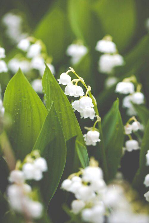 Liljekonvalj är en populär blomma i Sverige.
