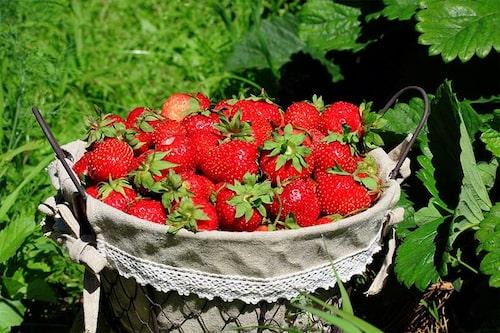 Jordgubbar smakar bäst när de plockas solmogna, odla därför egna. Många sorter att välja för alla smaker.