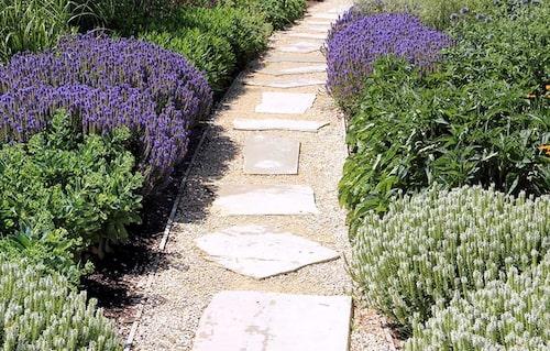 Vita och blåvioletta stäppsalvior som kantar gången tillsammans med kärleksört och bolltistel.