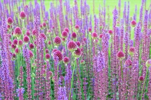 Stäppsalvia och klotlök, Allium sphaerocephalon är en kul kombo för soliga och väldränerade platser.