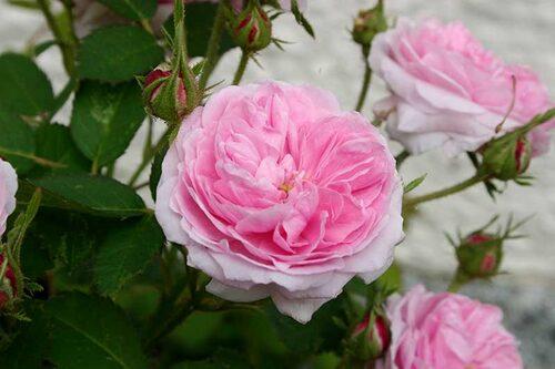 'Petite de Hollande' är en gammeldags ros med stora bollformade blommor.
