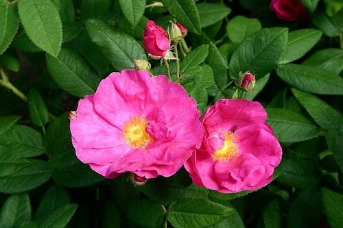 Apotekarrosen 'Officinalis' är en väldoftande ros med anor från 1500-talet.