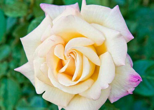 Tehybrider får ofta blommor som är skålformade med upphöjt mittparti. Här är sorten 'Mme A. Meilland'. Bild: Colourbox