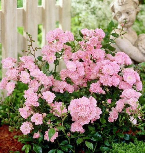 'The Fairy' är en låg och mycket användbar ros till marktäckning.