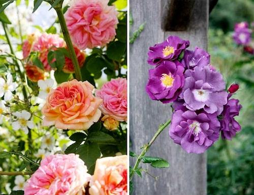 Väljer du 'Alchymist' (vänster) eller 'Rhapsody in Blue' (höger) får du rosor som blommar hela sommaren.