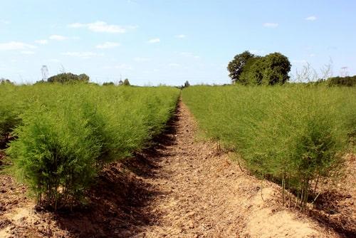 Sparris är lättodlat. Anlägg sparrisland eller odla i pallkrage på en solig plats.