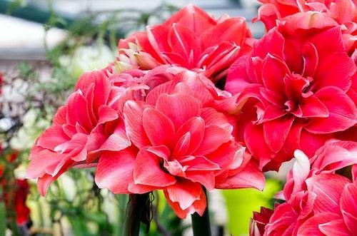 Amaryllis finns i flera färger från vitt och grönt, till rosa, aprikos och rött. Det finns randiga och dubbelblommande.