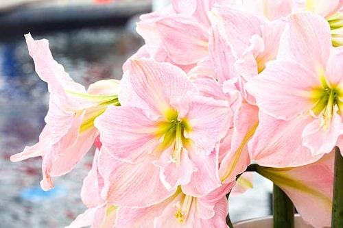 Det går att få amaryllisen att blomma om, men trixigt att få den att blomma om till julen igen.