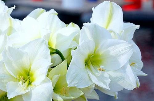 Vanlig blomsterjord fungerar bra för amaryllis.