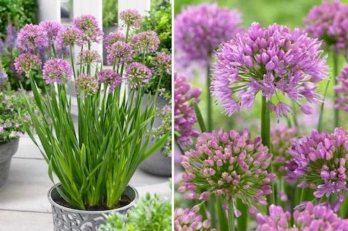 'Millenium' i kruka som solitär. Underbar ny Allium som blommar på sensommaren.