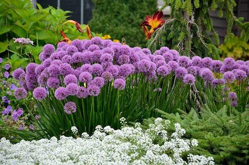 Allium 'Millenium' funkar fint med andra perenner i rabatter.