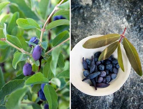 Odla flera olika sorter av blåbärstry tillsammans för större bär och skörd! Storleken på buskarna kan variera mellan sorterna, liksom utseendet på bären.