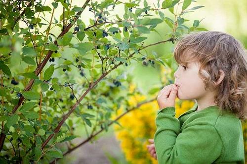 Odla blåbärstry så får barnen ett supernyttigt bär som kommer någon vecka innan jordgubbarna!
