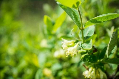 Blommorna på blåbärstry kommer extremt tidigt på våren, vilket ger mat åt yrvakna pollinerare.