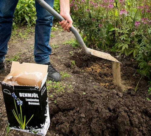 Gödsla med benmjöl i samband med planteringen.