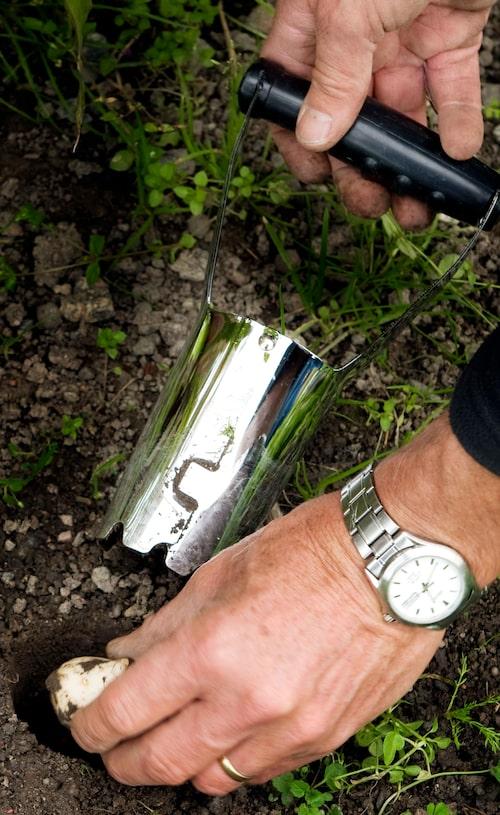 Ett lökjärn kan underlätta vid planteringen av vårlökar.