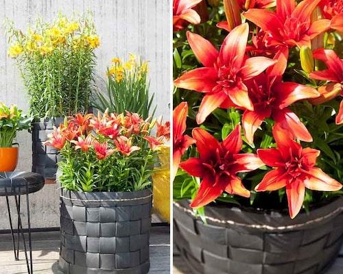 Plantera liljekrukor med en veckas mellanrum, så kan du förlänga blomningen.