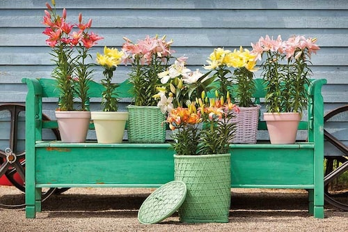 De flesta jordar går bra till liljor, så länge de är mullrika och lätta att gräva i.
