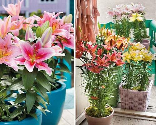 Övervintra asiatiska och orientaliska liljor frostfritt.