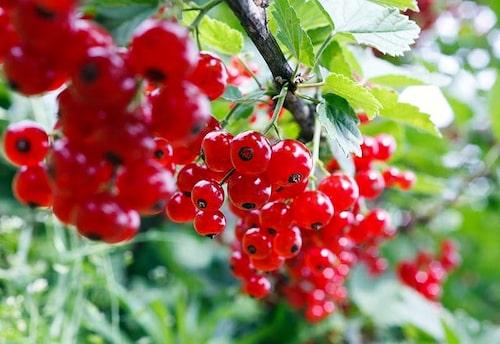 Vinbär och krusbär beskärs när busken tappar bladen inför vintern eller tidigt på vårvintern.