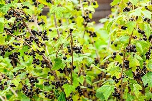 Svarta vinbär tål hård beskärning. Gallra ordentlig för friskare buske.