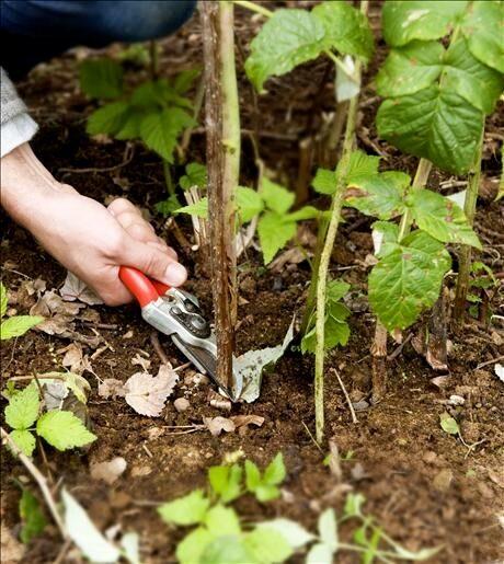 Fjolårsskotten på hallonbusken är förbrukade efter skörden och skärs av ända nere vid marken.