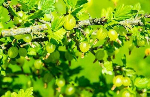 Hellre för lite än för mycket gödsel för bärbuskar! Lite kogödsel på våren räcker.