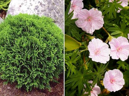 Tuja Thuja occidentalis 'Little Giant' lugnar planteringen med sin runda fasta form. Blodnäva Geranium sanguineum 'Apfelblüte' är också formfast och fin som kantväxt.