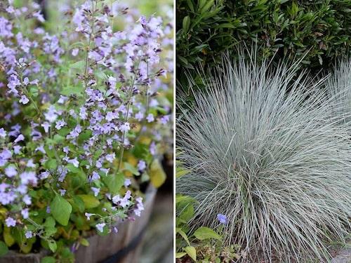Stenkyndel Clinopodium nepeta och Silverhavre Helictotrichon semper- virens 'Saphirsprudel' är fina vävarväxter ihop med timjan och purpurmejram.